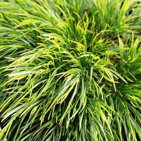 Acacia cognata 'Mini Cog' pbr