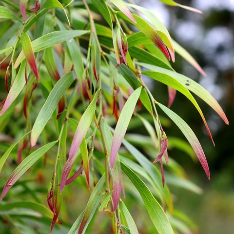 Acacia cognata 'Copper Tips'