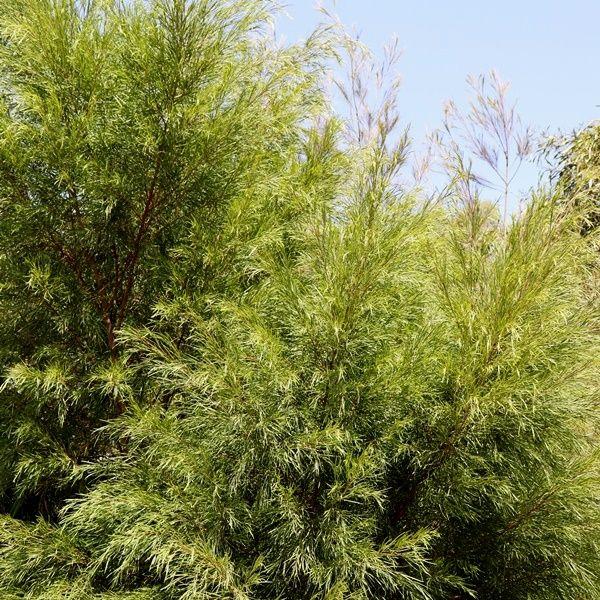 Acacia cognata 'Greenscreen' pbr