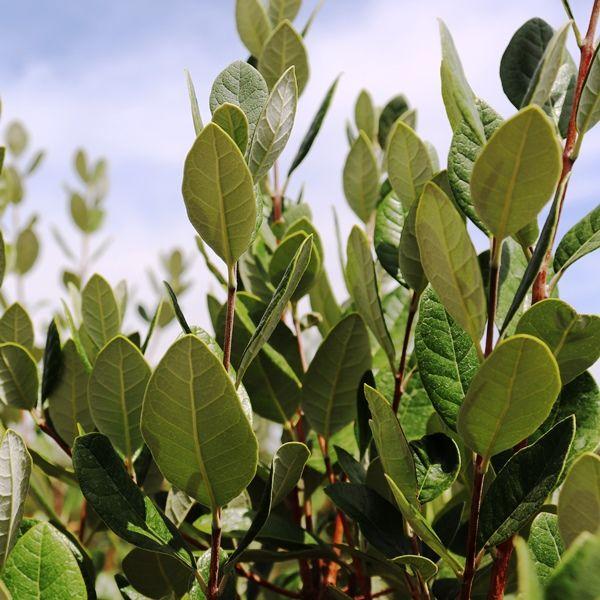 Acca sellowiana (Feijoa)