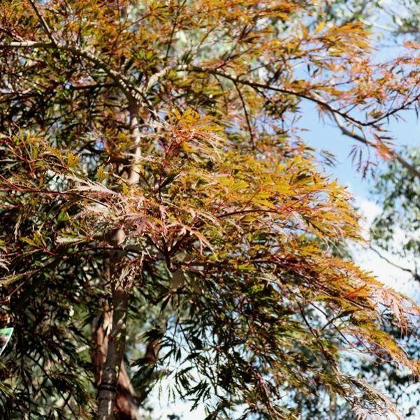 Acer palmatum Dissectum 'Atropurpureum' Standard