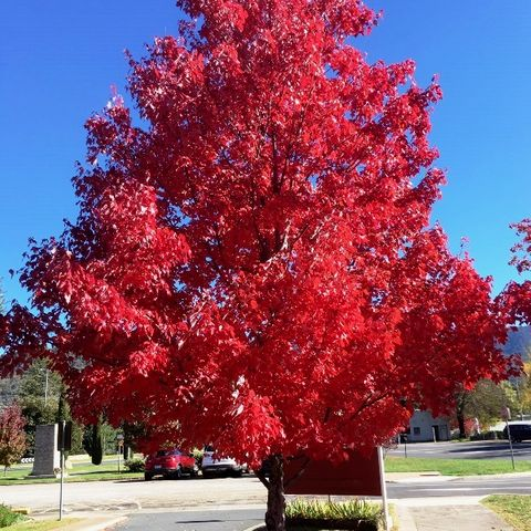 Acer rubrum 'Autumn Red'