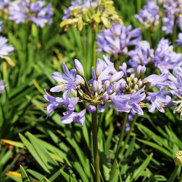 Agapanthus 'Baby Pete' pbr