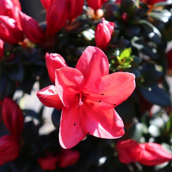 Azalea 'Scarlet Dragon'