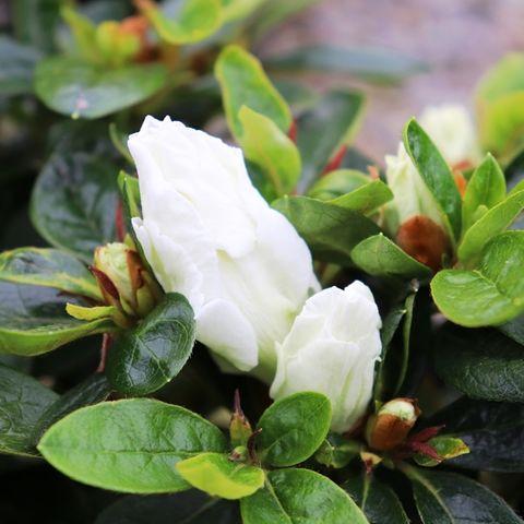 Azalea 'White Bouquet'