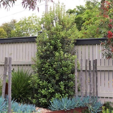 Banksia integrifolia 'Sentinel' pbr