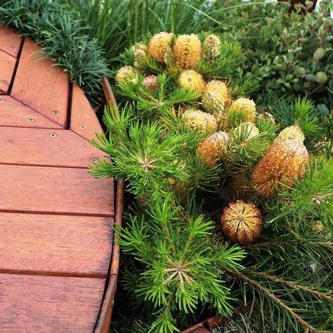 Banksia spinulosa 'Birthday Candles'