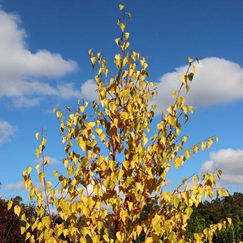 Betula pendula 'Wades Gold'