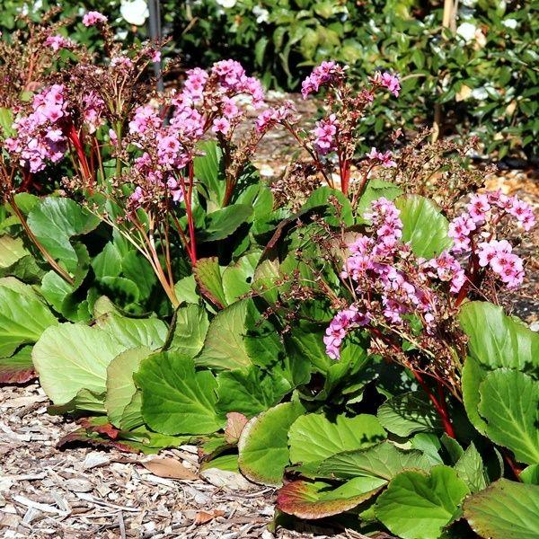 Bergenia cordifolia rubra