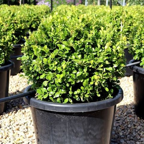 Buxus japonica Ball