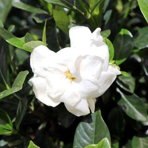 Gardenia augusta 'Aimee Yoshiba'