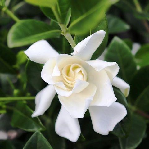 Gardenia augusta 'Florida'