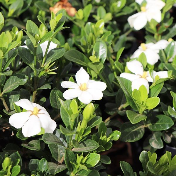 Gardenia jasminoides 'Grandiflora Star'