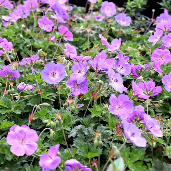 Geranium wallichianum x himalayense 'Rozanne' pbr