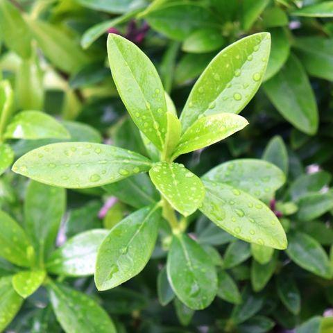 Daphne odora 'Sweet Amethyst' pbr