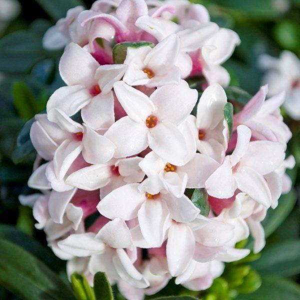 Daphne x transatlantica 'Eternal Fragrance' pbr