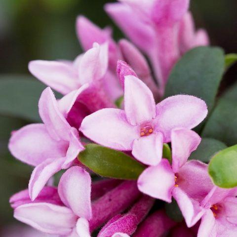 Daphne x transatlantica 'Spring Pink EF' pbr