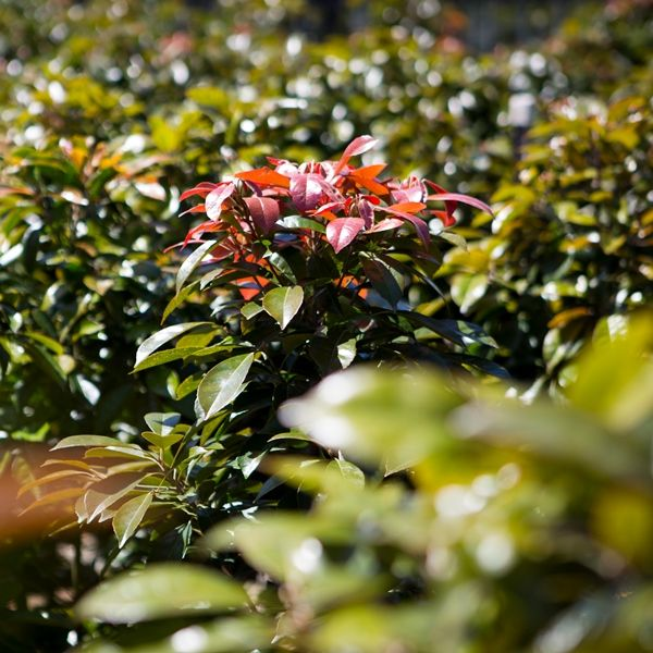 Elaeocarpus eumundi