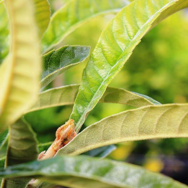 Eriobotrya japonica 'Enormity' (Loquat)
