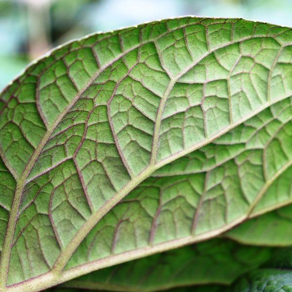 Eupatorium megalophyllum