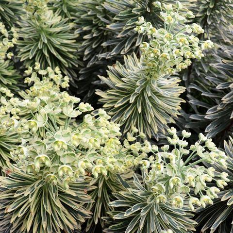 Euphorbia characias 'Silver Swan' pbr