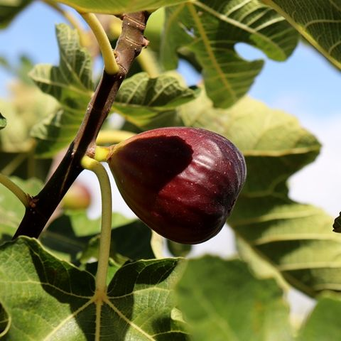 Ficus carica 'Black Genoa' (Fig)