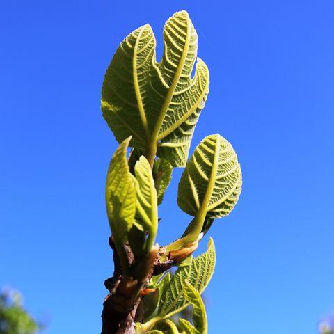 Ficus carica 'Black Genoa' (Fig)