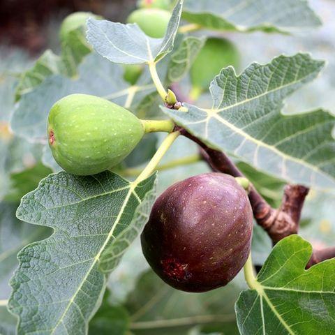 Ficus carica 'Figalicious' (Fig)