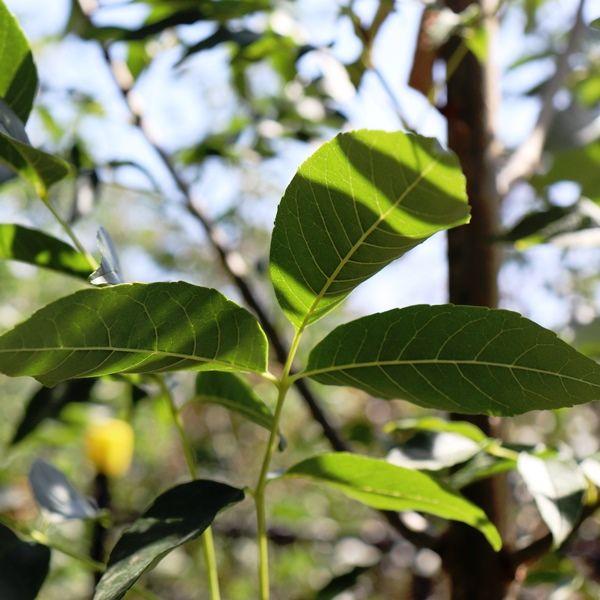 Fraxinus pennsylvanica 'Cimmzam'