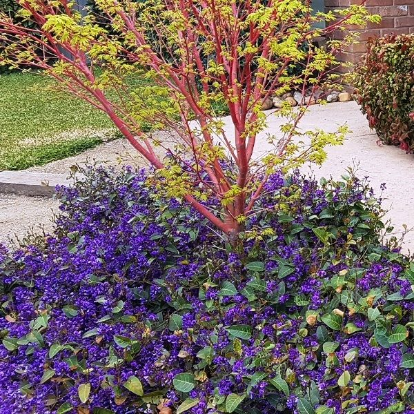 Hardenbergia 'Sea of Purple' pbr
