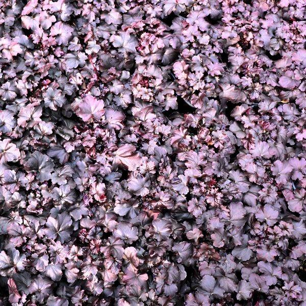 Heuchera hybrid 'Obsidian' pbr