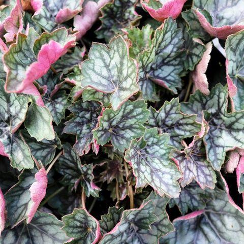 Heuchera hybrid 'Peppermint Spice'