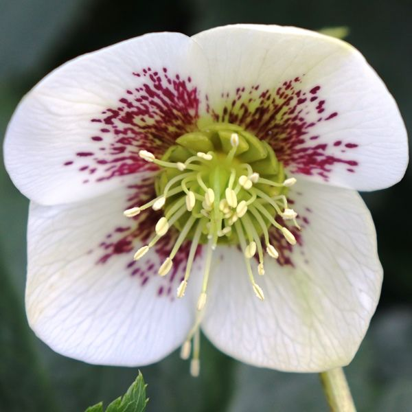 Helleborus orientalis 'White with Red Centre'