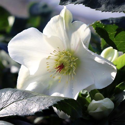 Helleborus x glandorfensis 'Ice 'n' Roses White'