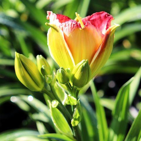 Hemerocallis x hybrida 'Mama Mia'