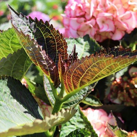 Hydrangea macrophylla Tea Time™ 'Chique'