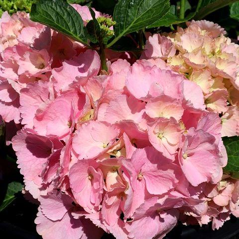 Hydrangea macrophylla Tea Time™ 'Pink Sensation'