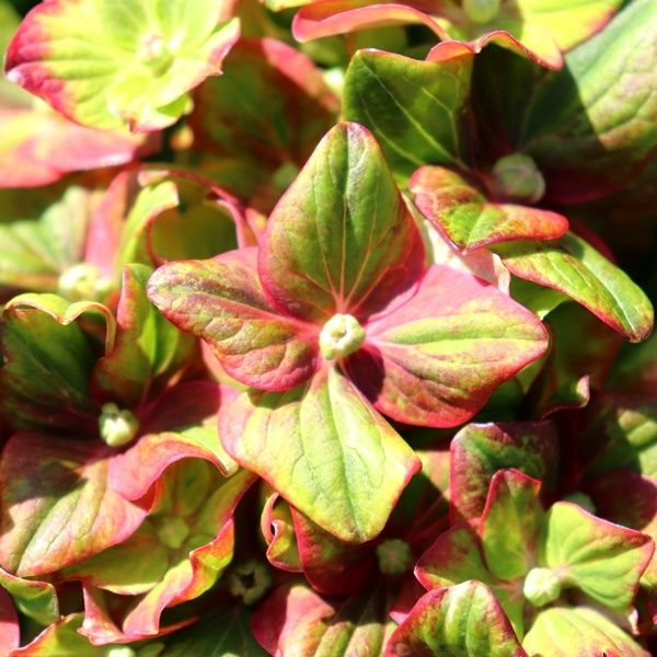 Hydrangea macrophylla 'Toffee Apple'