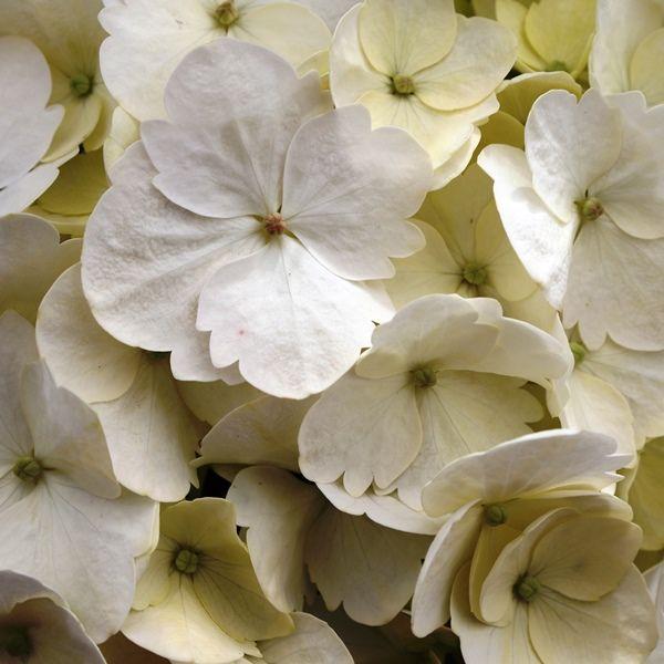 Hydrangea macrophylla 'White Ball'