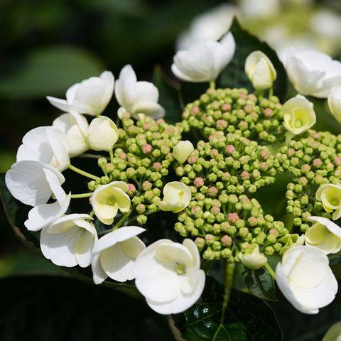 Hydrangea macrophylla 'White Lace Cap'