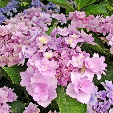 Hydrangea macrophylla You & Me 'Forever' pbr