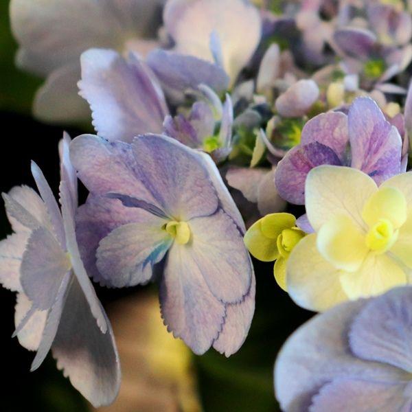 Hydrangea macrophylla You & Me 'Forever' pbr