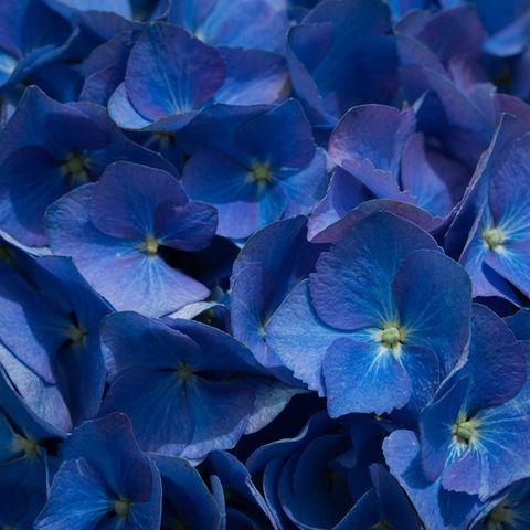 Hydrangea macrophylla 'Blue Ball'
