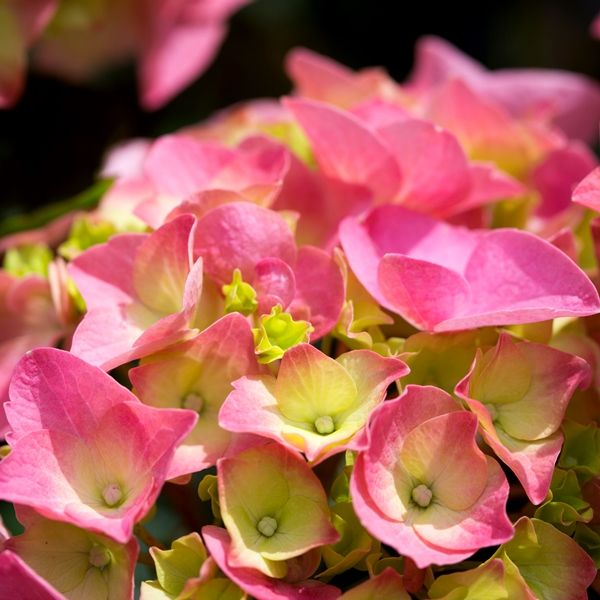 Hydrangea macrophylla 'Pink Ball'