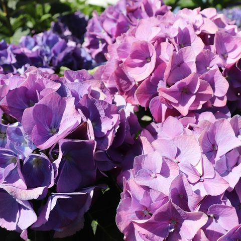 Hydrangea macrophylla 'Purple Ball'