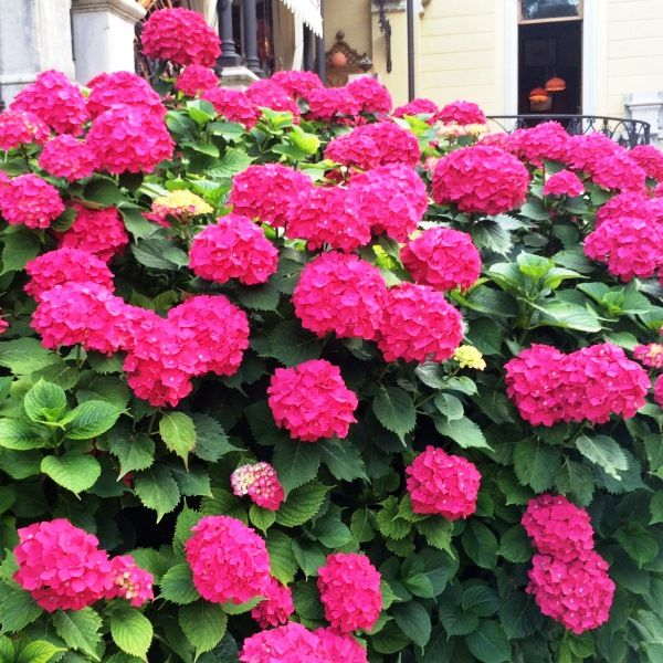 Hydrangea macrophylla 'Red Ball'