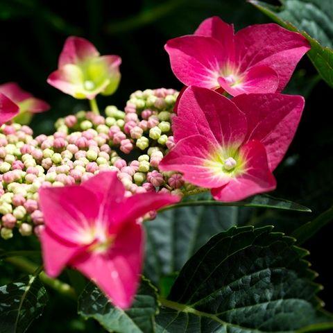 Hydrangea macrophylla 'Red Lace Cap'