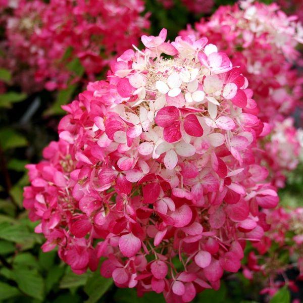 Hydrangea paniculata 'Diamond Rouge' pbr