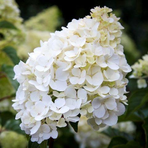 Hydrangea paniculata 'Sundae Fraise' pbr