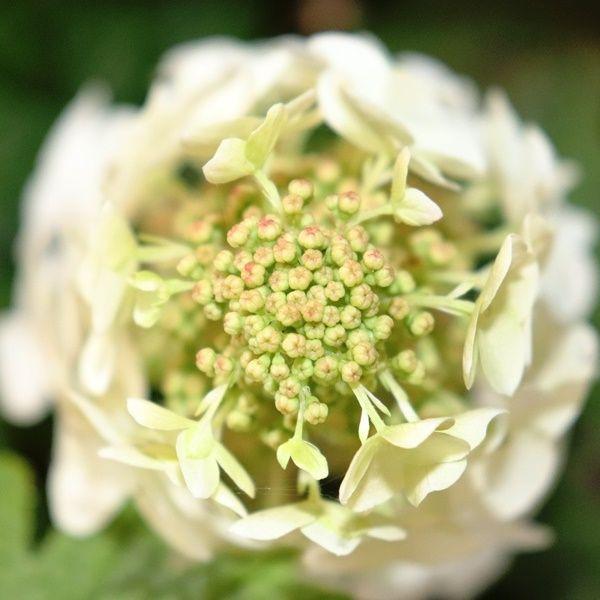 Hydrangea quercifolia 'Prinsnow'